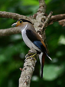 Silver breasted broadbill.jpg