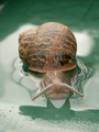 Snail in pool with reflection.png