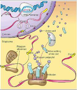 Protein Sentezi