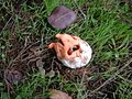 Clathrus ruber young.jpg