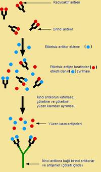 Radioimmune essay