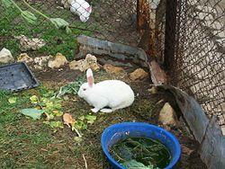 Kümeste bakımı yapılan evcil bir tavşan