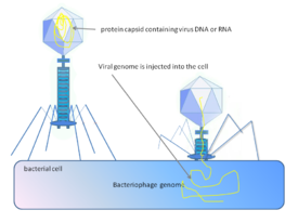 Phage injecting its genome into bacterial cell.png