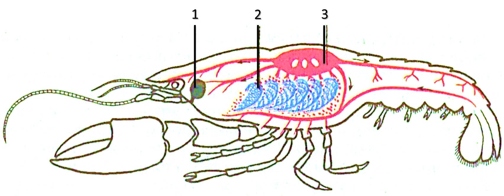 Схема дыхания у животных