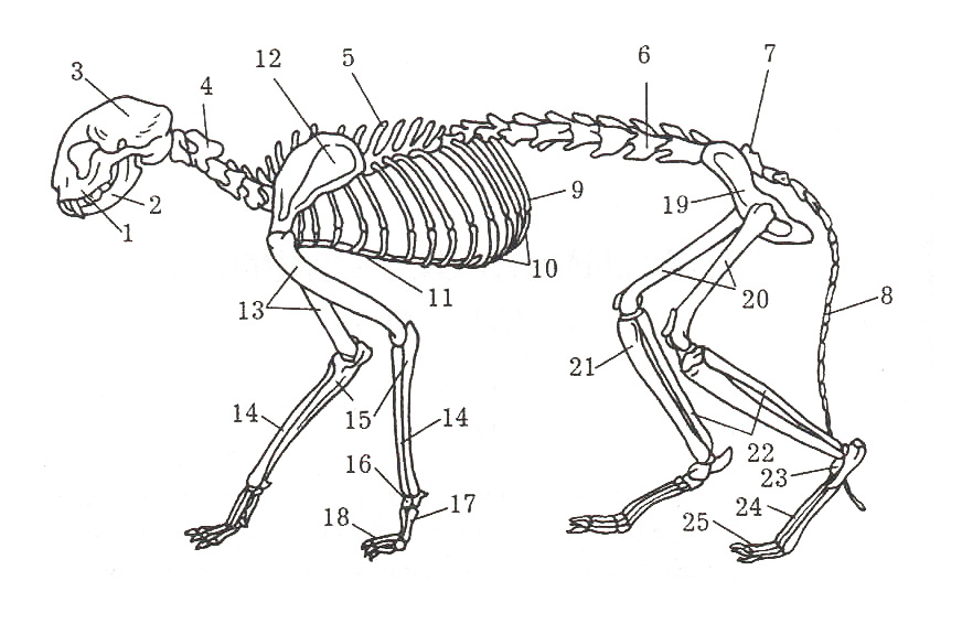 Cat_skeleton.jpg