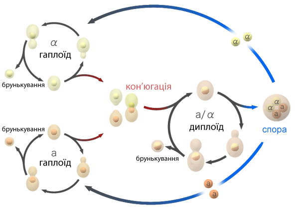 Файл:Budding yeast Lifecycle uk.png