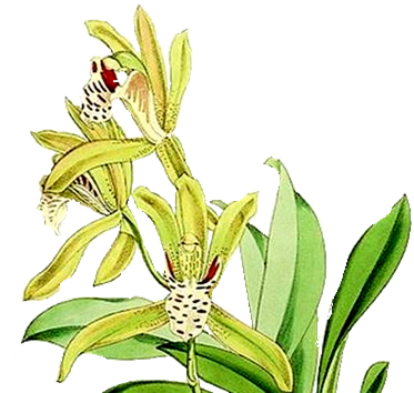 Файл:ICON for template of Cymbidium.png