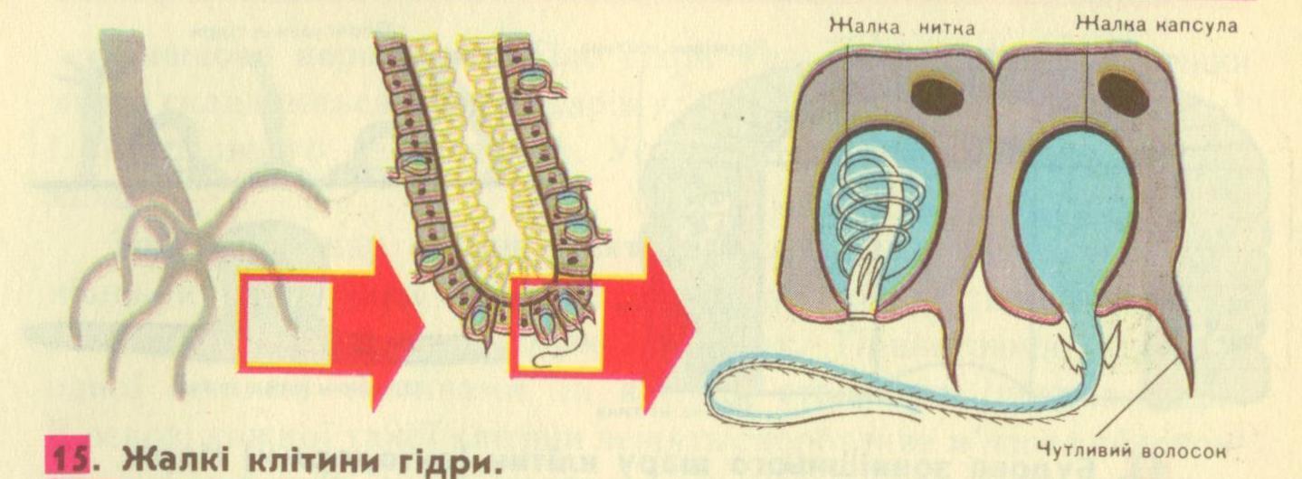 Жалкі_клітини_гідри.jpg