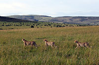 Gepards Masai Mara National Park 8.jpg