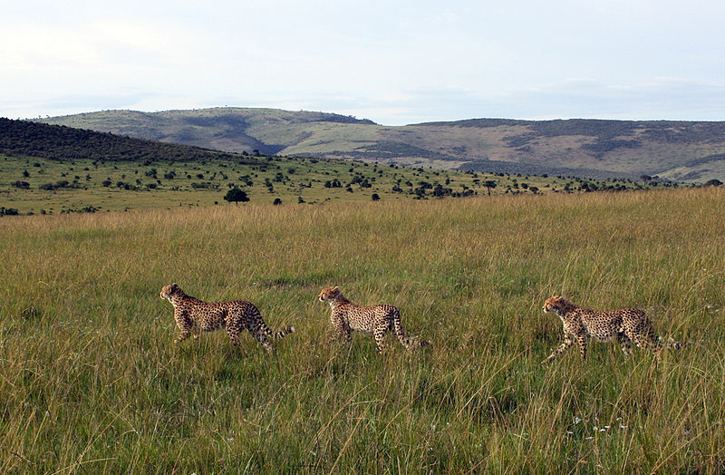Файл:Gepards Masai Mara National Park 8.jpg