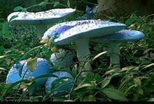 это единственные в мире фото, этот гриб был найден одним старым учёным, который сделал 3 фото, а через некоторое...
