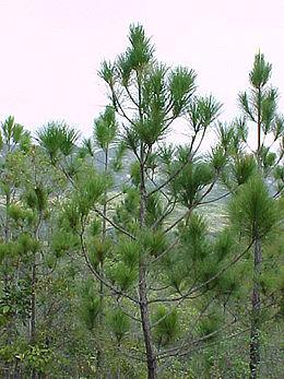 Крона pinus tropicalis