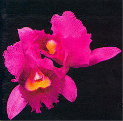 Opeth Orchid European Original.jpg