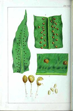 Phlebodium aureum illustration.jpg