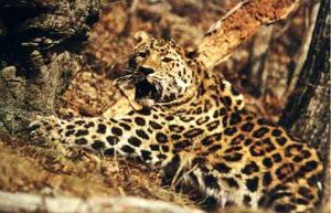 300px Panthera pardus