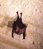 Macrotus waterhousii - Cartwright Cave - Long Island (6).jpg