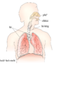 Respiratory system.png