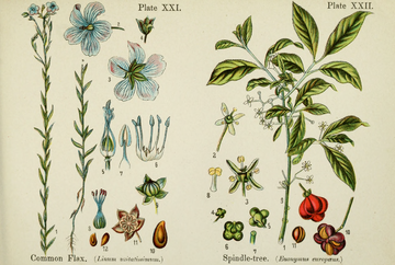 British Flowering Plants.djvu-83.png