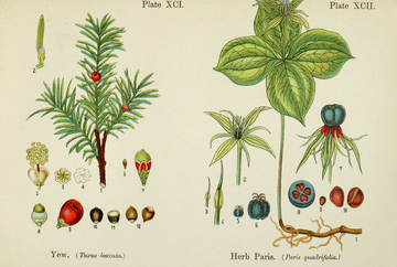 British Flowering Plants.djvu-229.png