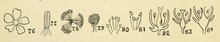 British Flowering Plants.djvu-28.png