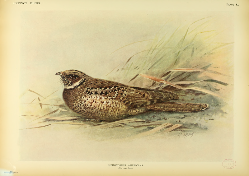 File:Extinctbirds1907 P5A Siphonorhis americana.png
