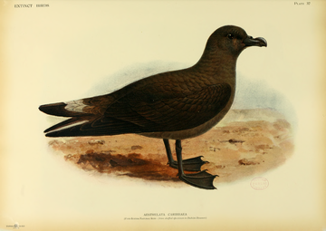 Rothschild Extinct Birds.djvu-365.png