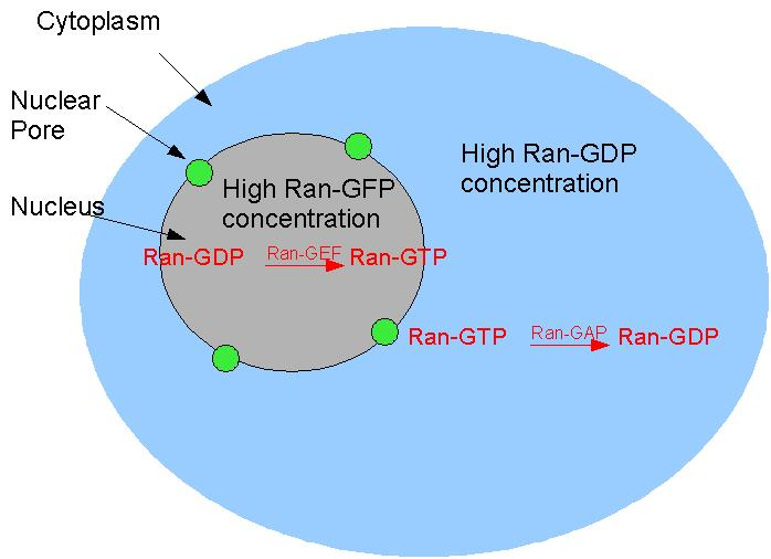 Ran GDP GTP_diagram cell biology membrane assembly signal hypothesis wikiversity