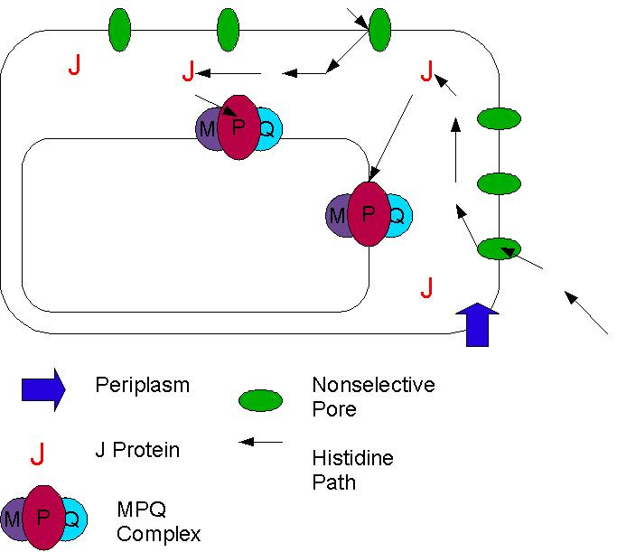 Cell biologyMembrane Transport  Nucleocytoplasmic Exchange  Wikiversity