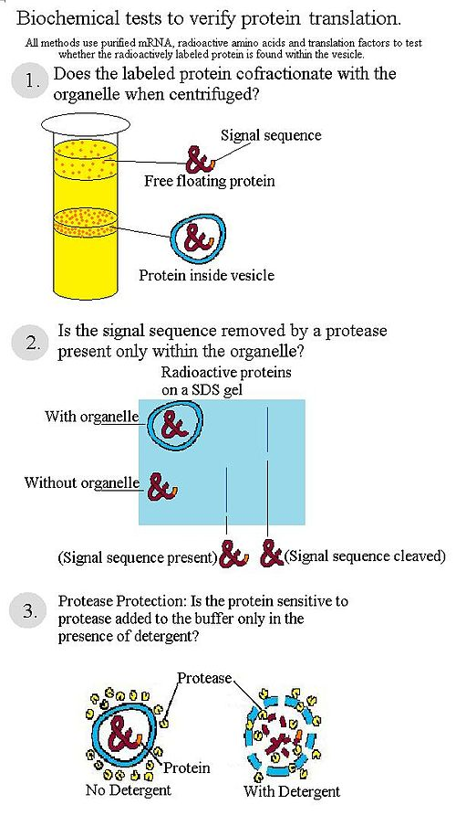 500px Diagram_of_biochemical_tests_for_protein_translation cell biology membrane assembly mechanism wikiversity