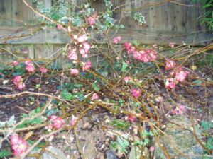 Unknown shrub.jpg