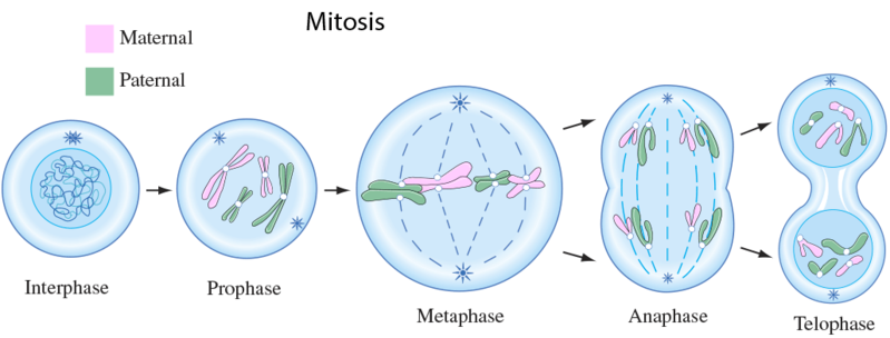 overview of cell biology mitosis wikiversity diagram of taxonomy diagram of mitosis #23