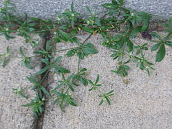 Unknown plant like bedstraw.jpg