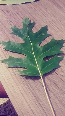 Virginia Native Tree Leaf Identification Project Pin Oak