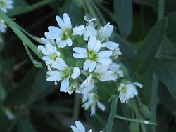 Unknown flower jwt02.jpg