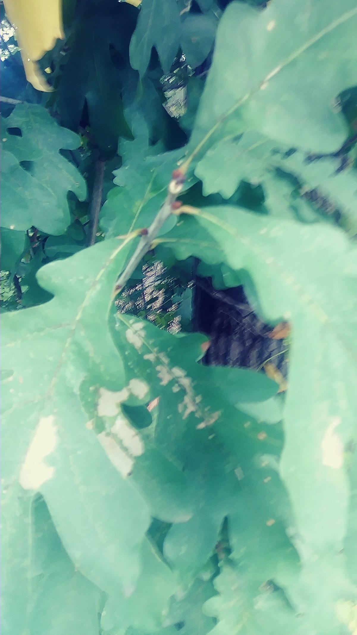Virginia Native Tree Leaf Identification Project White Oak