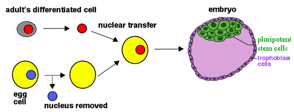 Pluripotent stem cells wikiversity nuclei from adult cells can be reprogrammed by transfer into oocytes the resulting embryo contains pluripotent stem cells with nuclear dna from the adult ccuart Choice Image